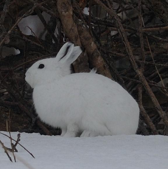 ユキウサギの画像 p1_37