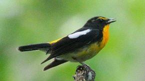 円山の鳥類
