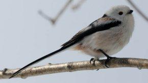 猿払村の小鳥