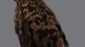 宗谷岬のオジロワシ