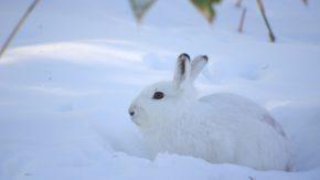 円山のウサギ