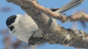 ハンノキの芽を食べるハシブトガラ