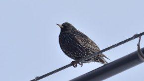 珍鳥ホシムクドリの季節