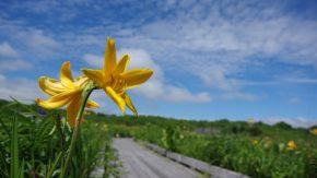 サロベツ湿原 最新開花情報 200629