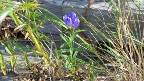 サロベツ湿原 最新開花情報 200907