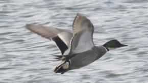 天塩川河口の水鳥