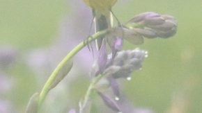 タチギボウシの上にツメナガセキレイ