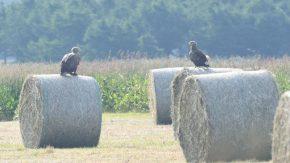 牧草ロールにとまるオジロワシ