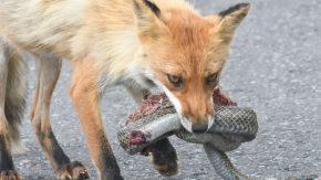アオダイショウを捕まえたキツネ