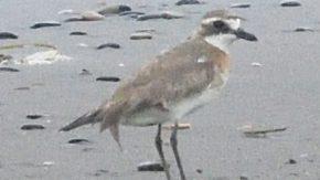 稚咲内の浜にメダイチドリ
