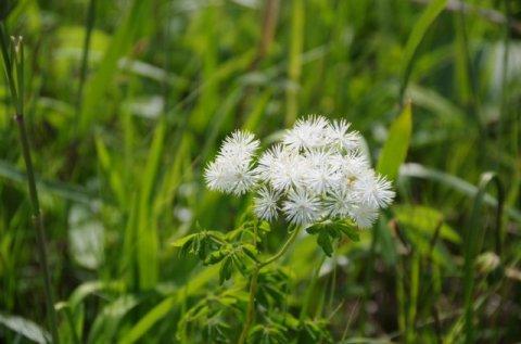 サロベツ湿原 最新開花情報180614