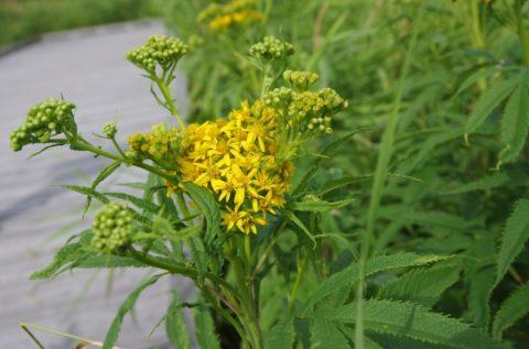 180816 サロベツ湿原 最新開花情報