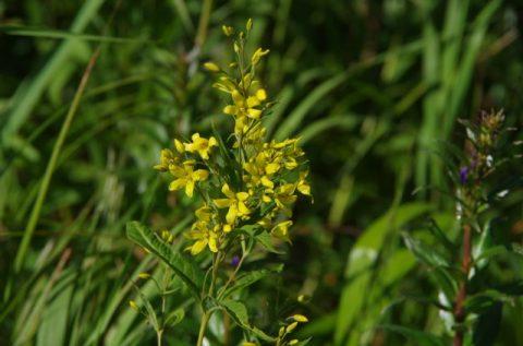 サロベツ湿原最新開花情報180802