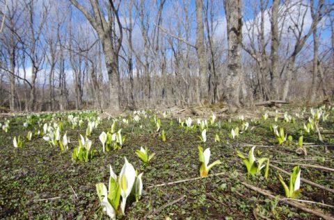 ミズバショウが見頃です!春のお花も次々と♪