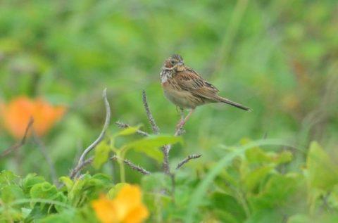 海岸草原の小鳥たち