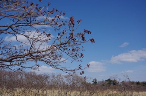 サロベツ湿原の様子~ハンノキが咲きました~(2000329)