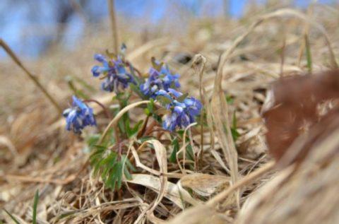 咲き始めた 春の妖精たち(エゾエンゴサク他)200413