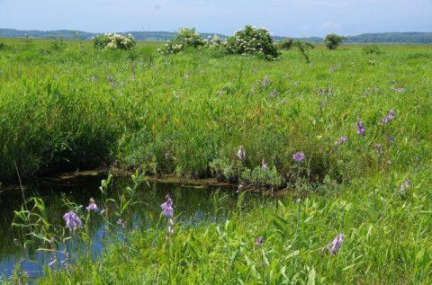 サロベツ湿原最新開花情報+木道のようす210730